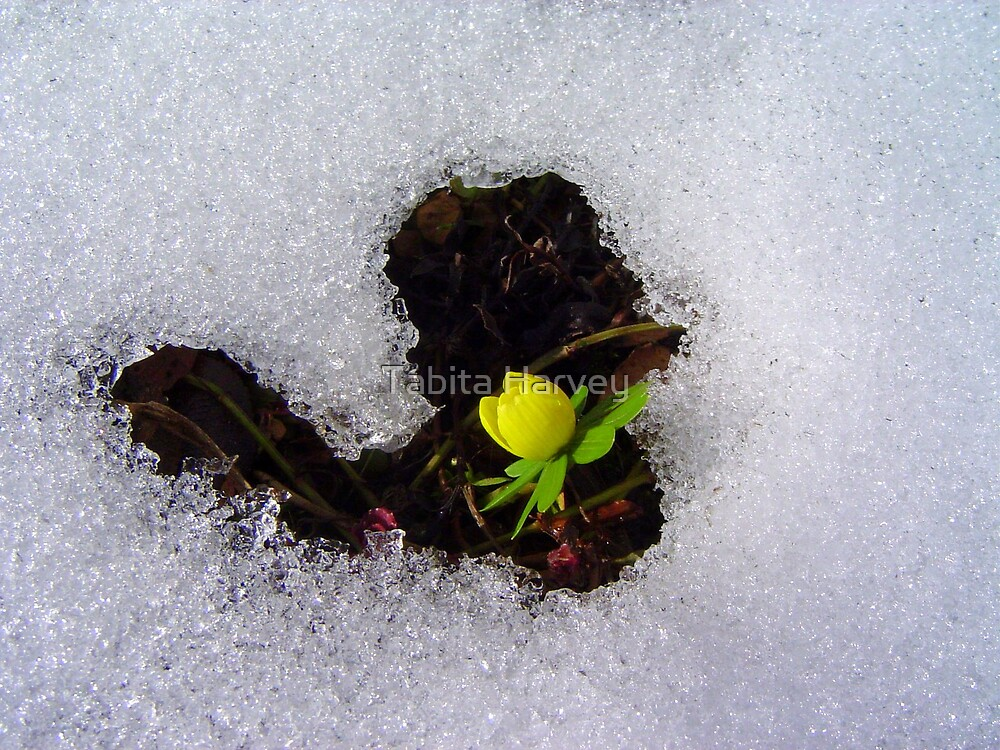 Little Yellow Flower in a Heart of Snow by Tabita Harvey