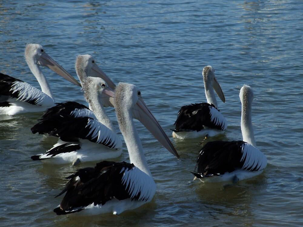 pelicans by talik
