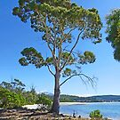 Eucalypt by the Bay by Graeme  Hyde