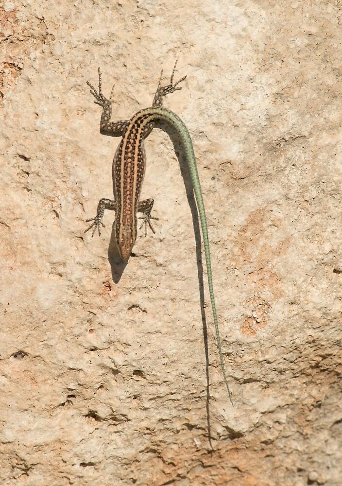 Oertzen Rock Lizard - Rhodes, Greece by Chris Monks