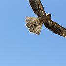 Whistling Kite by RochelleJean