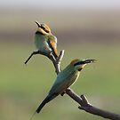 Rainbow Bee-eaters by RochelleJean