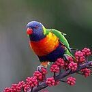 Rainbow Lorikeet by Anthony Goldman