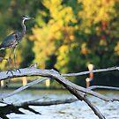 Young Blue Heron by Paul Lenharr II