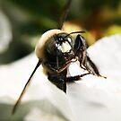 Bumble Bee by Paul Lenharr II