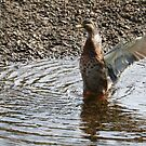 Duck in a Flap by kalaryder