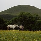 Falkland Horses by biddumy