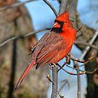 Backyard Cardinal  by Lanis Rossi