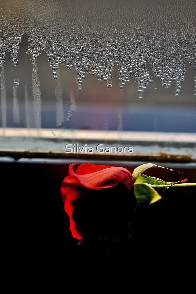 Misty rose by Silvia Ganora
