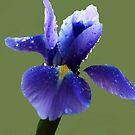 Blue drops by Joyce Knorz