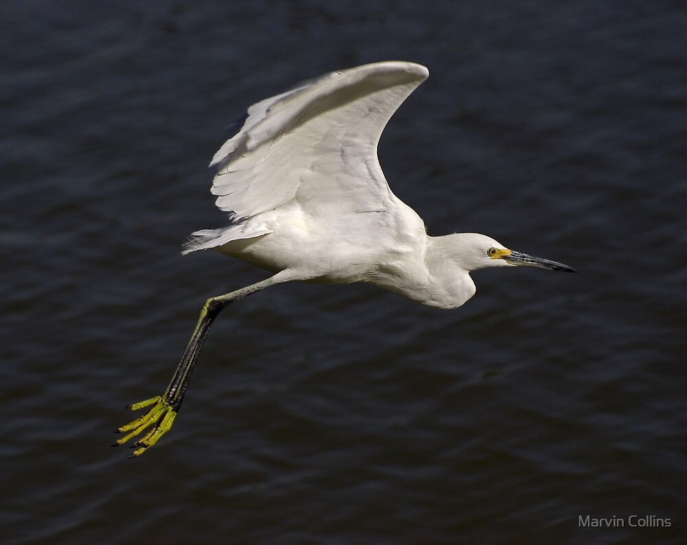 Snowy Egret by Marvin Collins