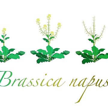 Brassica napus - Canola plant development  by thevexedmuddler
