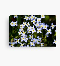 Spring Garden Bluet Flowers Canvas Print