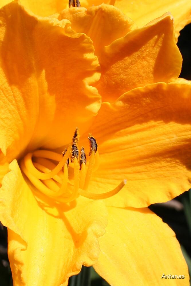 Flowers 17  by Antanas