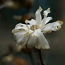 Battered Bloom (Star Magnolia)  by Jeff stroud