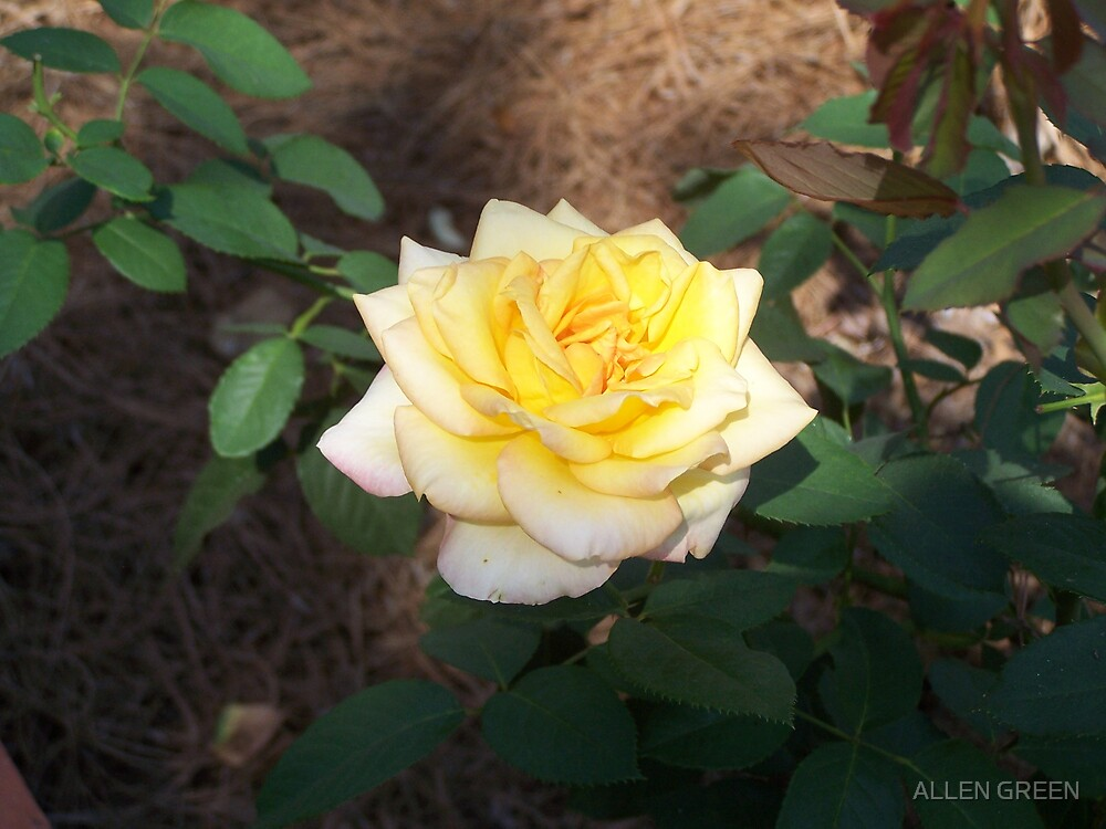 flower by ALLEN GREEN