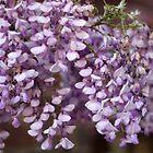 Spring - Wisteria by agnessa38