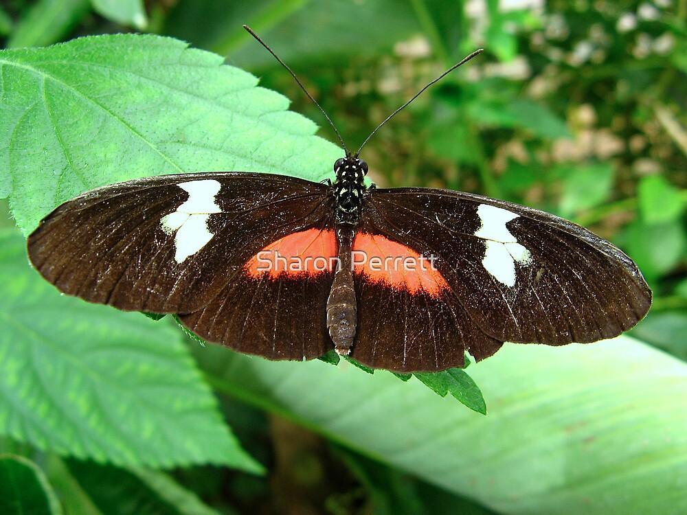 Postman Butterfly - Open wings by Sharon Perrett
