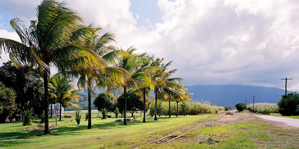 Palm Trees and Cane Fields by mgimagery