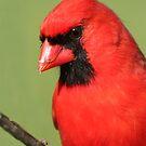 Cardinal by MsSnuffy