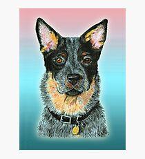 Beaut Australian Cattle dog - Blue Photographic Print