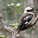 The Australian Kookaburra by Margaret Stanton