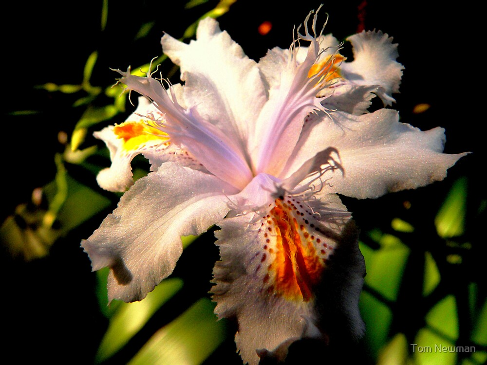 White Iris by Tom Newman