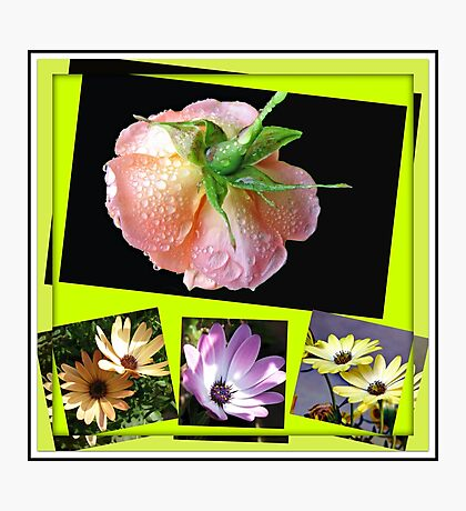 Sunshine and Rain - Rose and Cape Daisies Collage  Photographic Print