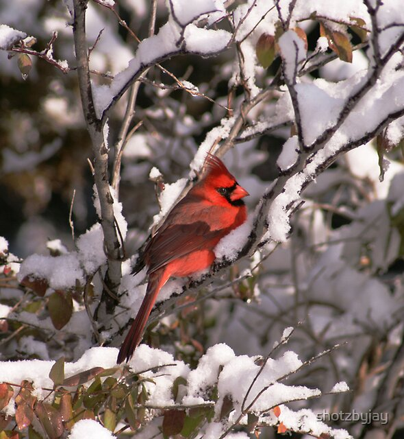 Male Northern Cardinal by shotzbyjay