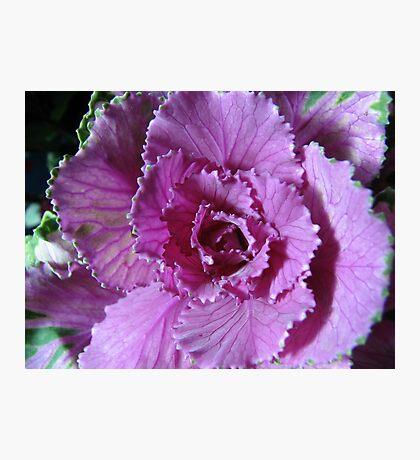 Pretty in Purple - Zierkohl Makro Fotodruck