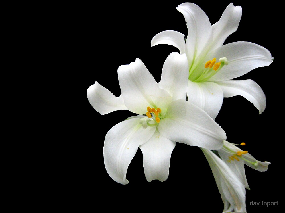 White Lilies by dav3nport