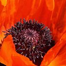 Heart of a Poppy. by Lee d'Entremont