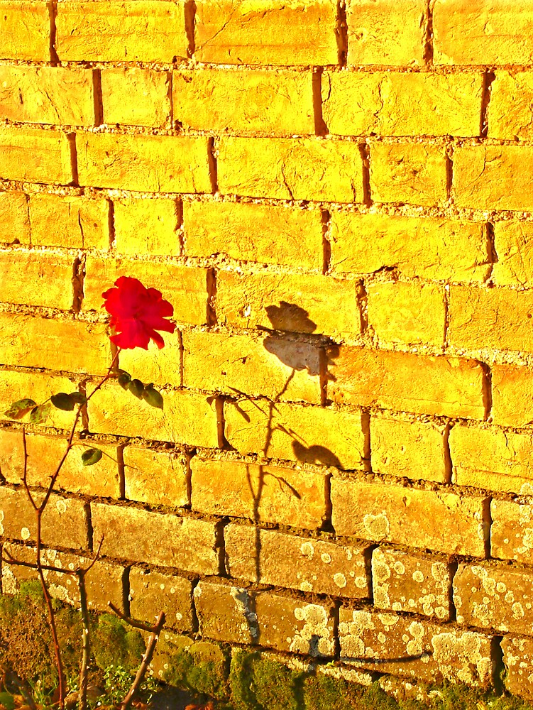 Single Red Rose.. by Kate Towers IPA