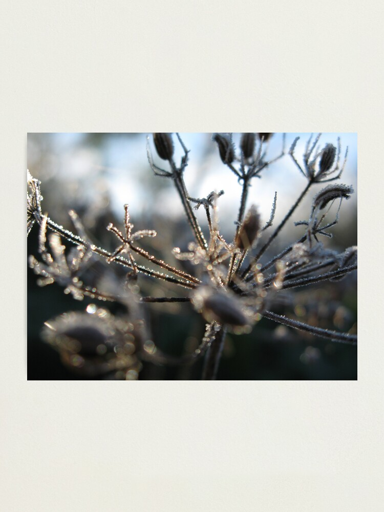 Alternate view of Frosty Stems Photographic Print
