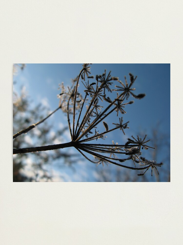 Alternate view of Frosty Stems #5 Photographic Print