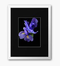 Incredible Iris on black Framed Print