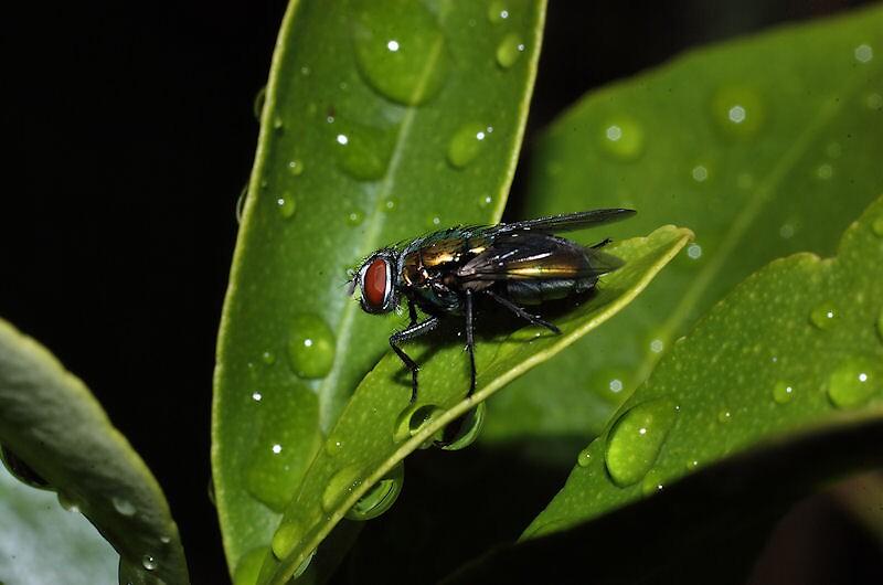 Fly on cumquat tree. by David  Hall