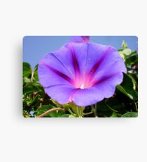 Purple Colored Morning Glory Flower Garden Background  Canvas Print