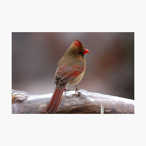 Cardinal in the cold Photographic Print
