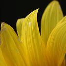 Sunflower 1361 by João Castro