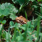 Peek Toad by David Lamb