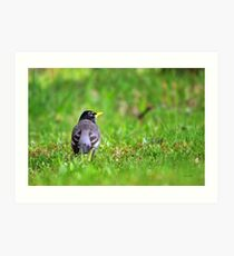 American Robin Bird in Grass Art Print