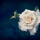 Beautiful white rose with buds on a dark blue background by Veronika2V