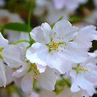 Cherry Blossoms by Scott Mitchell