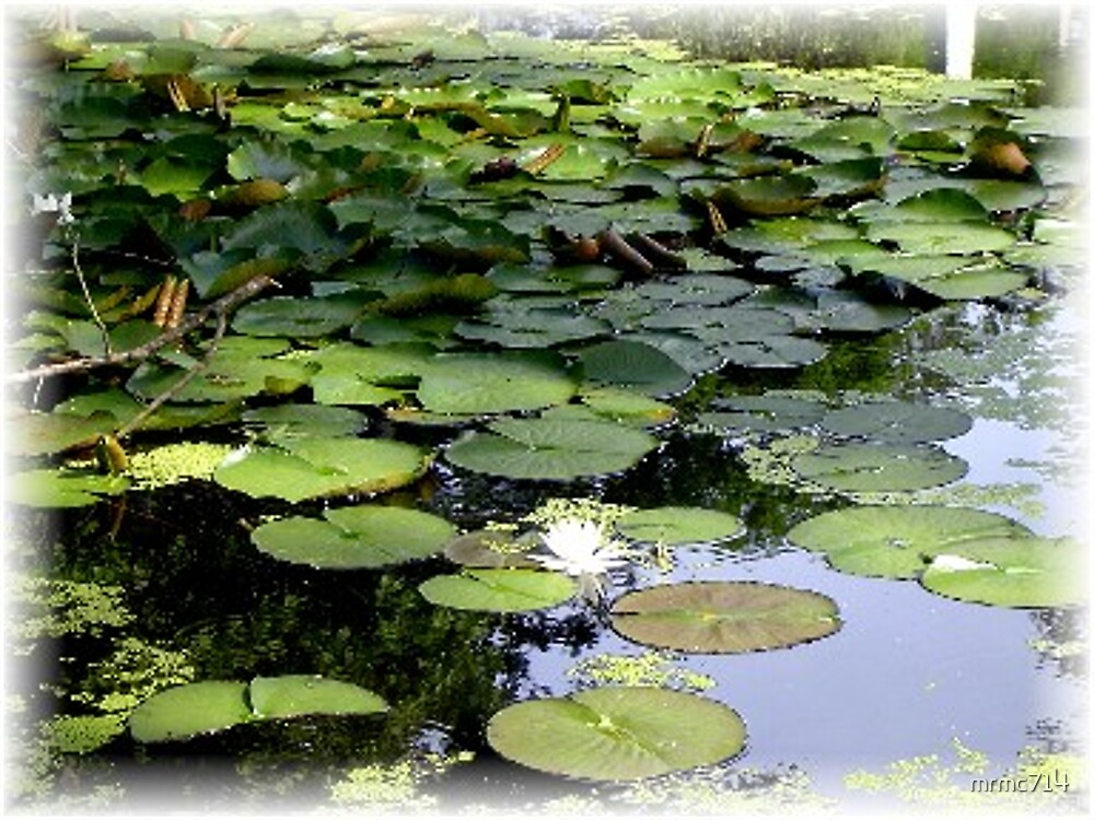 lily pond by mrmc714