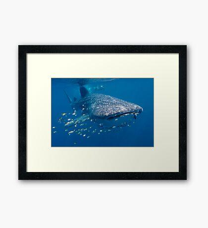 Whale Shark, Ningaloo Reef, Western Australia Framed Print