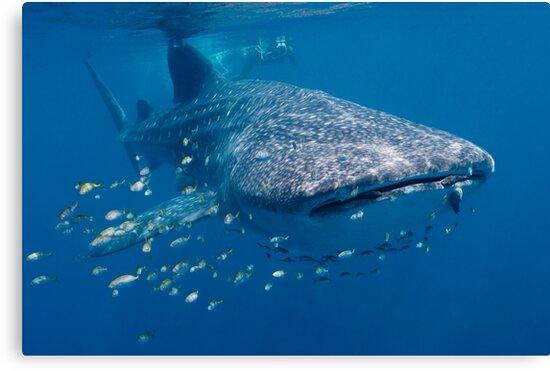 Whale Shark, Ningaloo Reef, Western Australia by Erik Schlogl