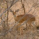 Steenbok by Erik Schlogl