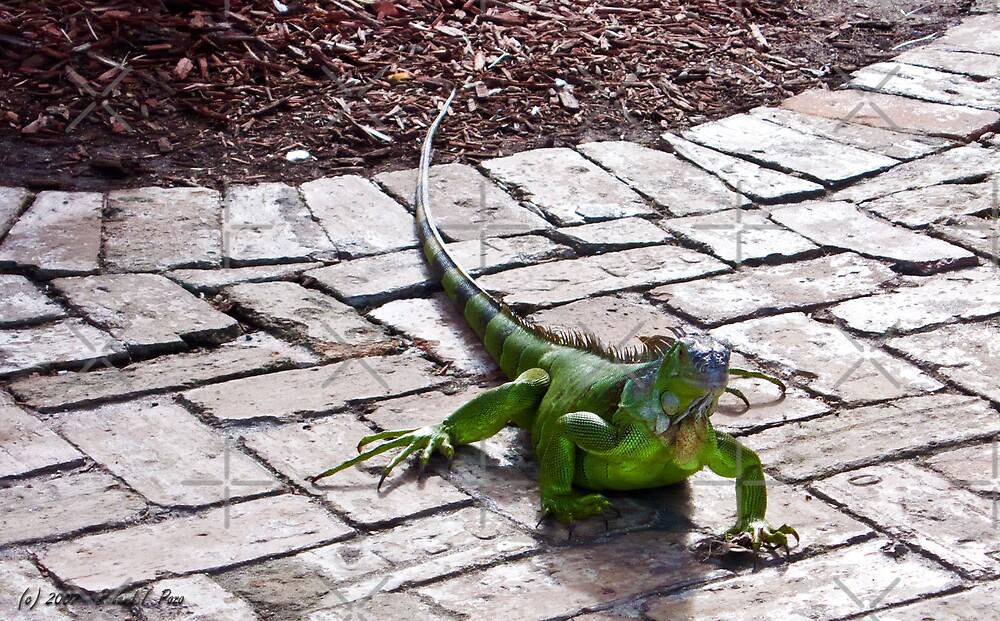 Iguana by photorolandi