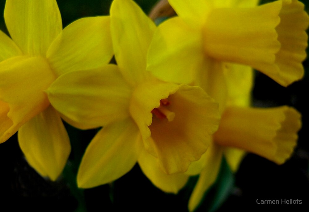 Yellow Faces of Spring by Carmen Hellofs